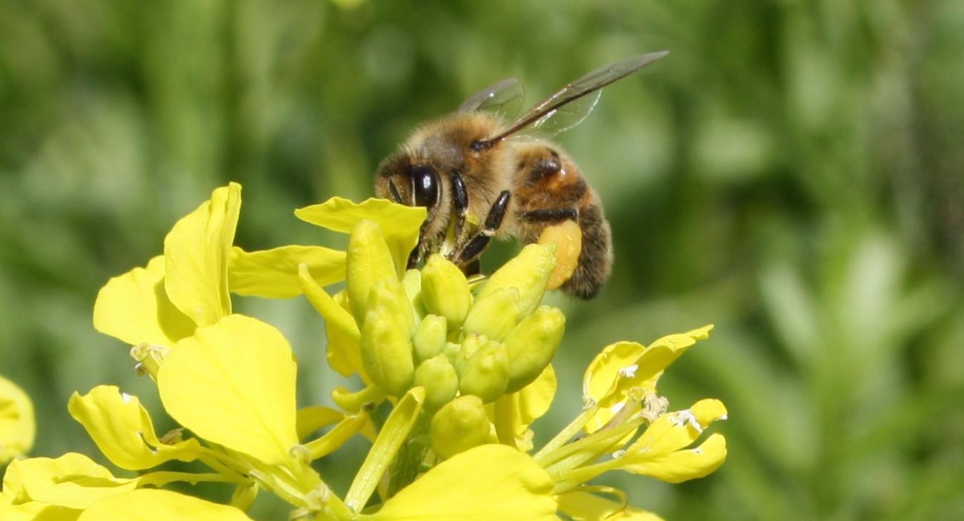 Des abeilles en Champagne